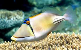 Triggerfish picasso