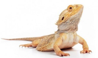 Bearded agama: home content
